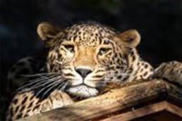 Snöleopard hos Nordens Ark.